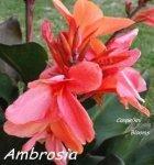 Canna Ambrosia
