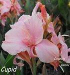 canna Cupid