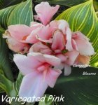 Canna Variegated Pink