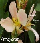 Canna Yemayarae