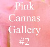 Pictures of pink garden cannas