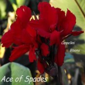 canna Ace of Spade with dark blackish red flowers