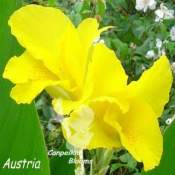 Beautiful bright yellow cannas picture of Austria with bright yellow flowers