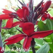 Dark red with black buds picture of red cannas Black Magic