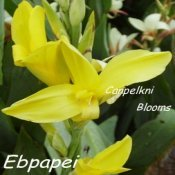 Picture of canna Ebpapei an Australian hybrid.