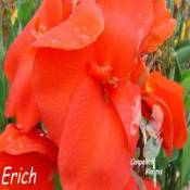 canna Erich with big tropical flowers