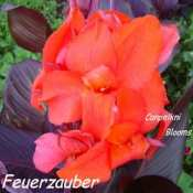 picture of canna Feuerzauber with broad dark leaves