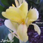Yellow canna Jarluigi raised in Australia