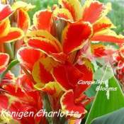 Picture of canna Konigen Charlotte also named Queen Charlotte