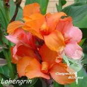 canna Lohengrin