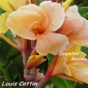 Picture of canna Louis Cottin with colored leaves.