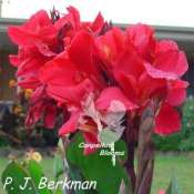 Canna P. J. Berkman has cerise red flowers