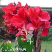 Canna P. J. Berkman has cerise red flowers
