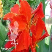 canna Pandora