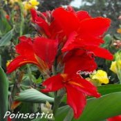 Photo of red flowering canna Poinsettia