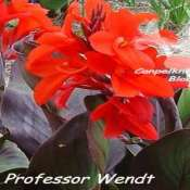 Medium height dark leaved and red flowering canna Professor Wendt