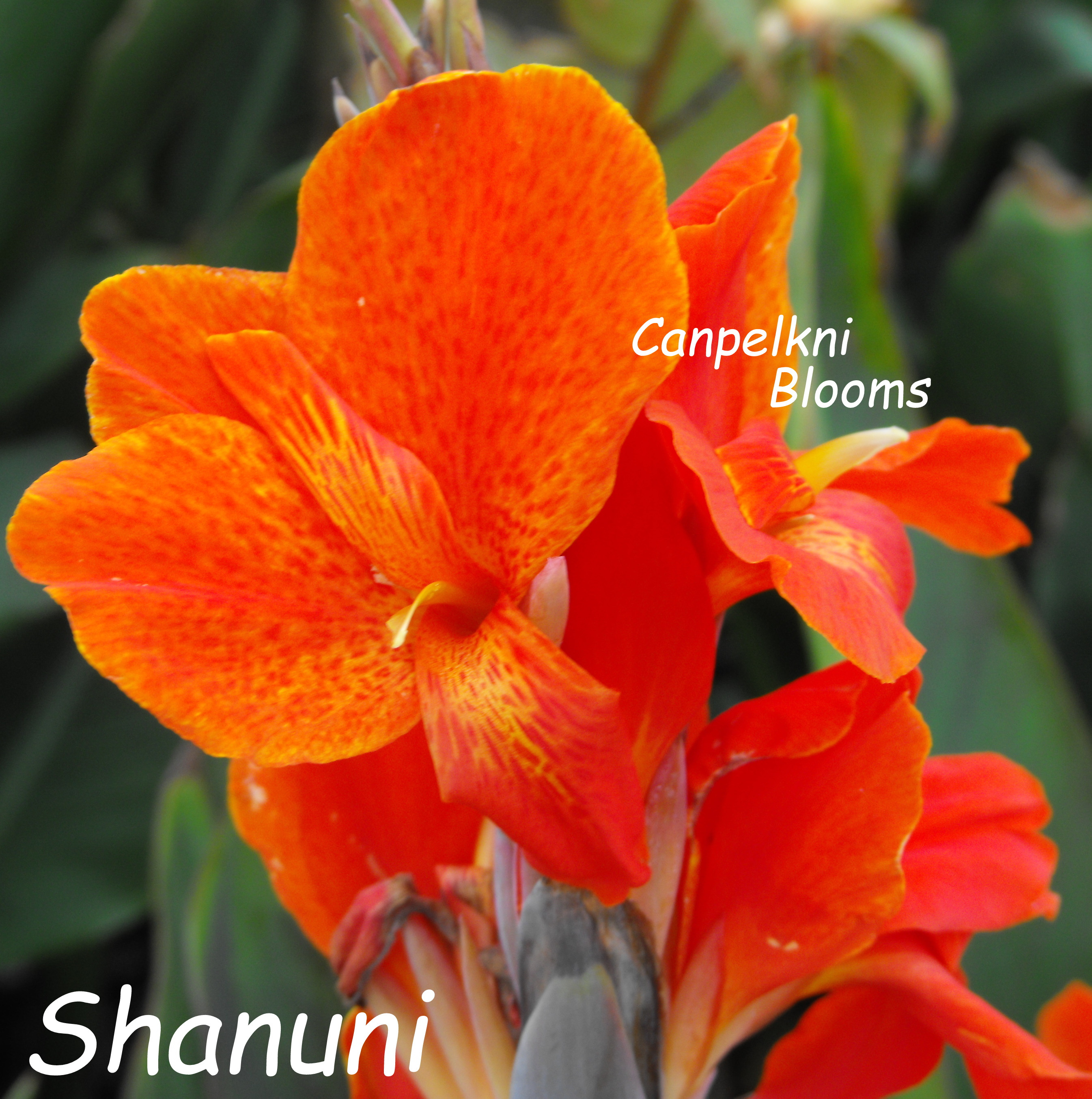 New plants with leaf color cannas Shanuni was bred in Australia