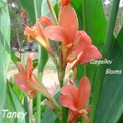 Canna Taney