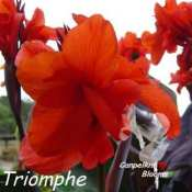 Picture of canna Triomphe with dark leaves and red flower
