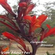 Red flowering plant canna Van Houttei
