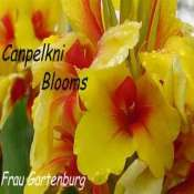 Picture of old yellow and red flowering canna plant Frau Gartenburg
