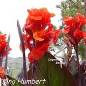 Tall growing and grande growing canna King Humbert has dark leaves and red flower