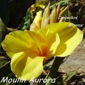 Canna Moulin Aurora raised in Australia by Bernard Yorke