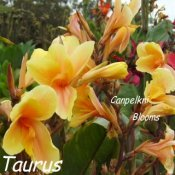 Beautiful Canna Taurus is from the Zodiac Series which was raised in Australia