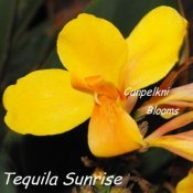 Yellow flowering picture of garden plants Tequila Sunrise