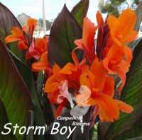 canna Storm Boy