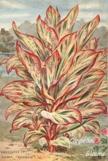 Picture of old variegated garden plants canna Rainbow