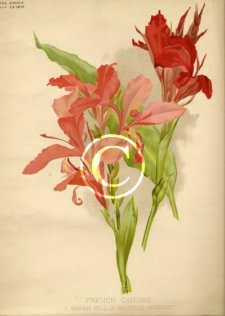 Two old cannas Sarah Hill and Maurice Mussey, French plants dated from 1895.