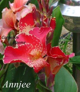 pink flower of Australian canna Annjee