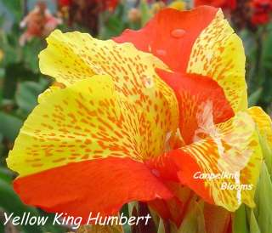 canna heritage yellow king humbert