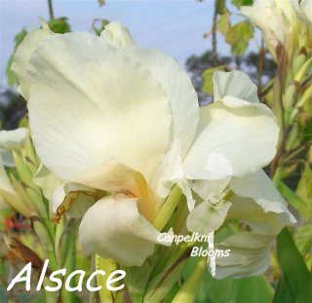 canna Alsace