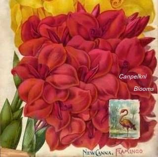 picture of canna Flamingo