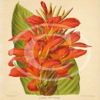 pictures of garden cannas Madame Crozy