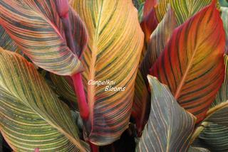 Variegated leaves of red pink green and yellow
