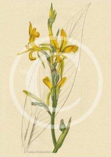 Canna Pedunculata