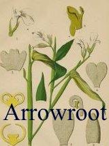 about canna arrowroot Maranta
