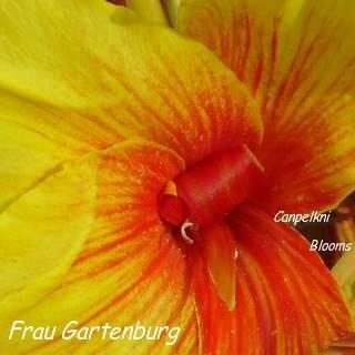 curled stamen on cannas Frau Garteburg