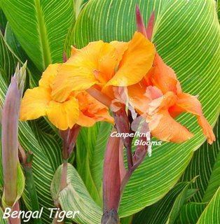 Flowers and leaves of canna Bengal Tiger