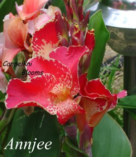 pink flower of Australian canna Annjee