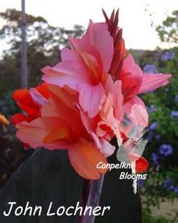 Large summer flowering John Lochner