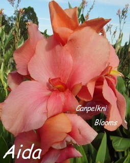 picture of garden canna lily aida