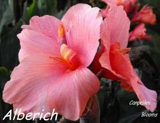 Canna Alberich