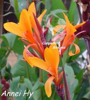Canna Annei Hy
