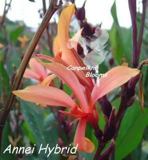 Canna Annei hybrid