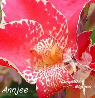 Canna Annjee