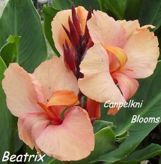 Soft pink and apricot garden canna Beatrix